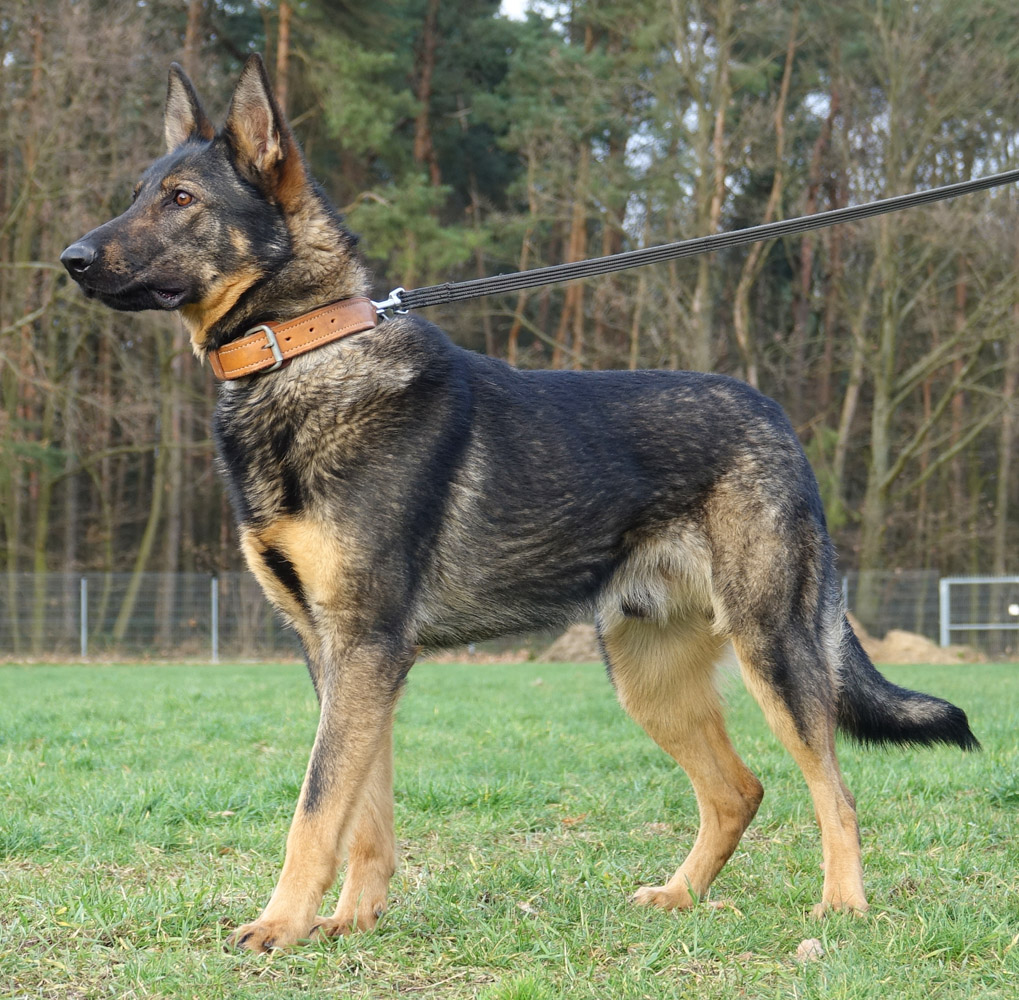 Trained Dogs For Veterans For Sale German Shepherd